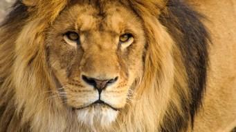 Hombre muere tras ser atacado por su león