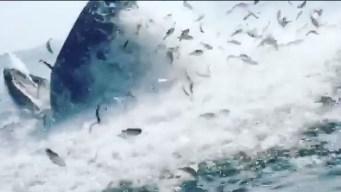 Gigantesca ballena se traga banco de peces de un solo bocado
