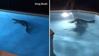 Se levanta a beber agua y halla un caimán en su piscina