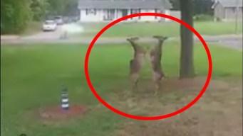Impactante: capta feroz pelea de venados frente a su casa
