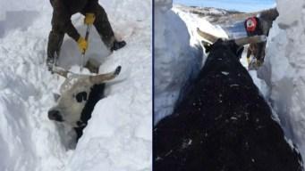 Impresionante: tormenta deja a toros enterrados bajo varios pies de nieve