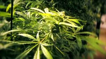 Productos de marihuana fallan pruebas de calidad