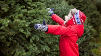 Consejos si vas a comprar un árbol navideño natural