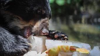 Animales de zoológico consumen helados contra el calor