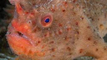 De cerca: cómo es el increíble pez de mano roja