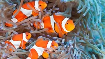 Descubren mecanismo de cambio de sexo en los peces