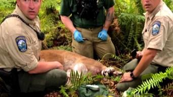Horror en el bosque: puma mata a ciclista y hiere a otro