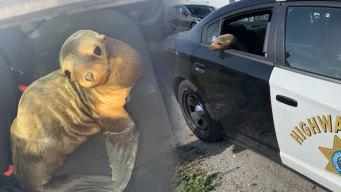 Tierno león marino detiene el tráfico de una autopista