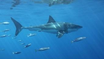 En video: encuentros cercanos con tiburones blancos