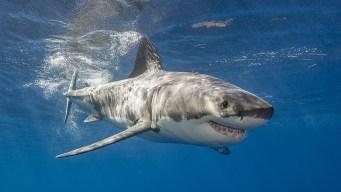 Majestuoso tiburón blanco visita nuestras costas