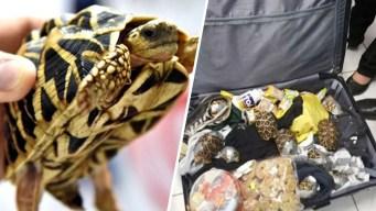 En video: hallan más de 1,500 tortugas vivas en maletas