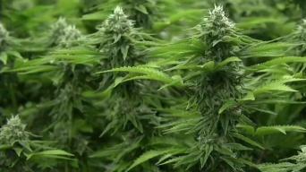 Buscan combatir adicción a opiáceos con marihuana