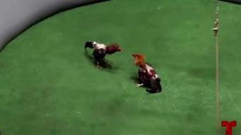Piden combatir contra ley federal que prohibirá peleas de gallos