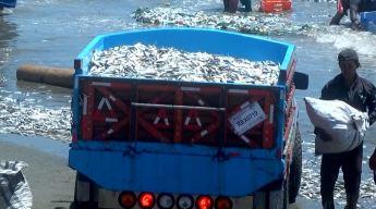 Mar arroja miles y miles de peces muertos a la orilla