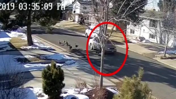 Cruel: video capta a conductor de Denver atropellando gansos que cruzaban la calle