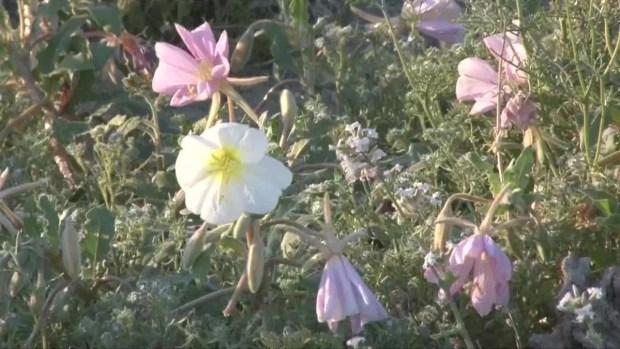 [TLMD - NATL] Video: insólito jardín de colores en desierto de California