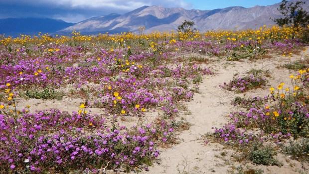 [G 2019] Las flores silvestres del desierto de Anza-Borrego