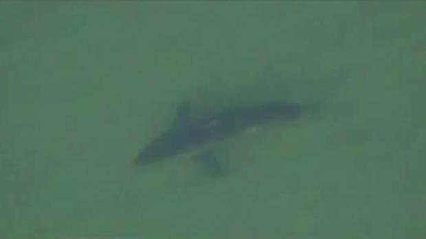 [TLMD - Boston] Avistan 15 tiburones blancos en costa de Massachusetts