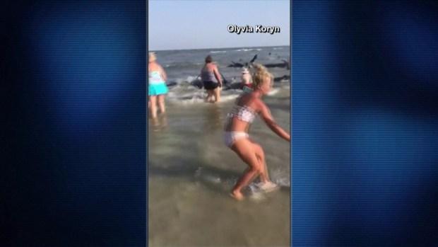 [TLMD - NATL] Ballenas encallan en playa y multitud lucha por salvarlas