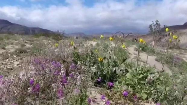 [TLMD - SD] El Desierto de Anza Borrego comienza a Florecer