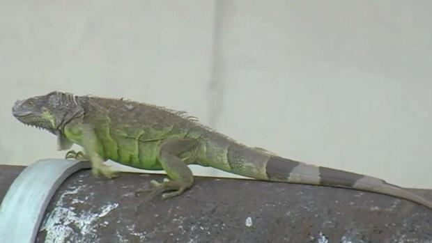 [TLMD - MIA] Ya es legal matar iguanas