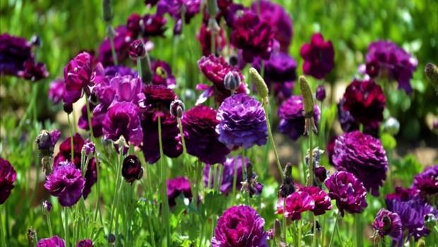 [TLMD - SD] Flores en Carlsbad