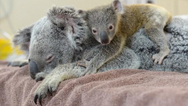 Fotos: Bebé koala se abraza a su mamá mientras la operan