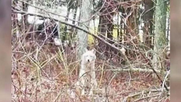 [TLMD - Boston] Mujer desesperada: llama al 911 acorralada por coyotes