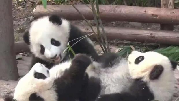 [TLMD - SD] Osos pandas fuera de peligro de extinción a corto plazo