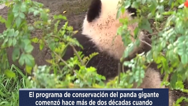 [TLMD - SD] Panda Gigante se despide del San Diego Zoo en video