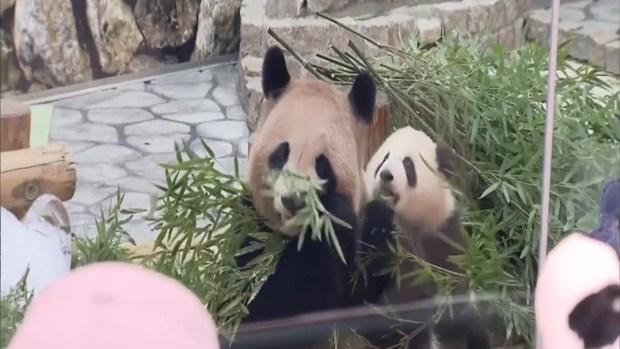 """[TLMD - NATL] Pandas festejan por el Día Blanco, el """"San Valentín inverso"""""""