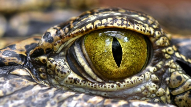 Reptiles acechan: caimán en autopista fue lanzado desde un auto