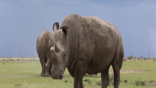 [TLMD - MIA] Tinder, la última esperanza del rinoceronte blanco