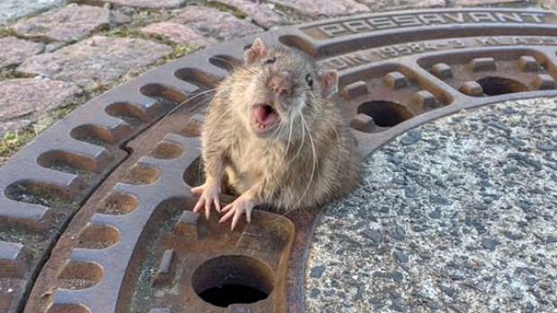[TLMD - LV] Ratita obesa: rescate de roedor se vuelve viral