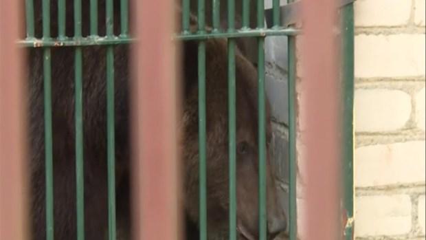 [TLMD - LV] Director de circo se encierra con oso