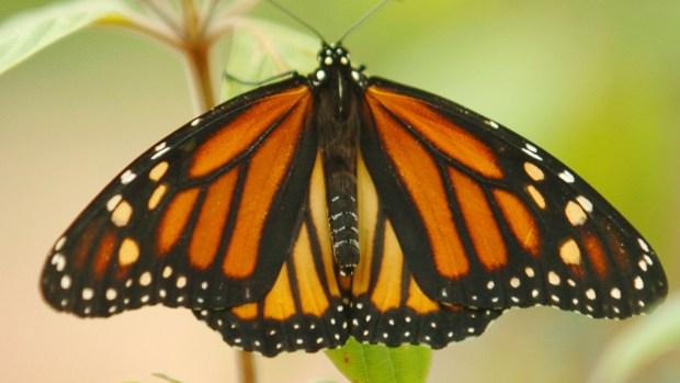 Fotos: Monarca, la mariposa que se resiste a morir