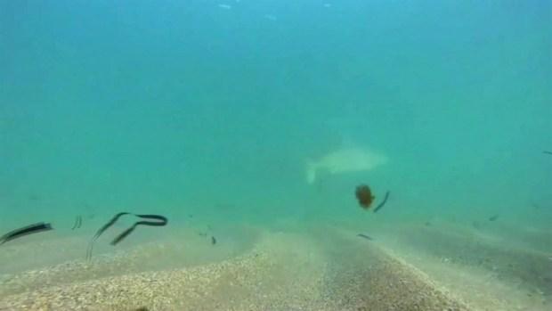 [TLMD - MIA] Miles de tiburones llegan a las costas de Florida