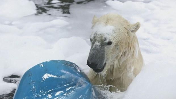Osos polares gozan de divertido baño de espuma