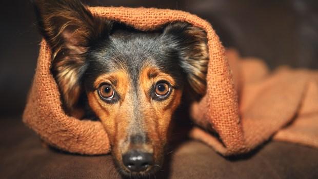Aprueban medicamento más económico para perros con ansiedad por separación