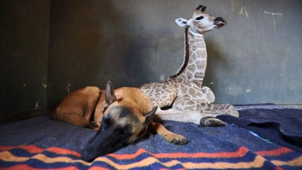 [TLMD - LV] Inseparables: el perro que cuida de una jirafa bebé