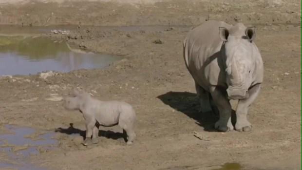 [TLMD - SD] Rinoceronte blanco se convierte en mamá