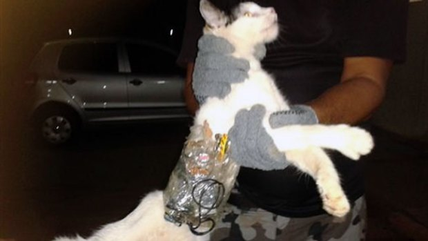 "Video: Atrapan a ""gato contrabandista"""