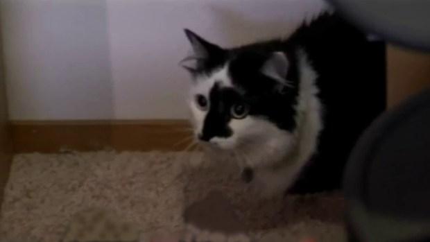 Video: Buscan sicólogo para gato violento