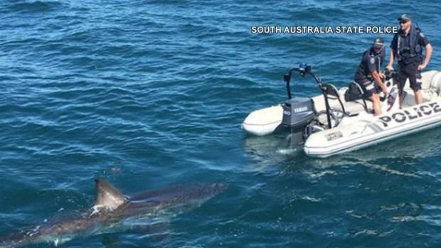 [TLMD - MIA] Avistan enorme tiburón blanco en Australia