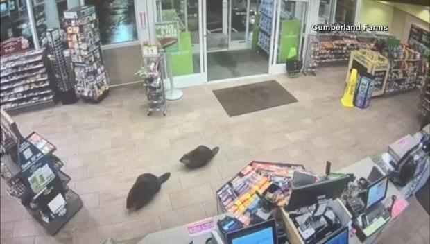 [TLMD - Boston] En video: castores se van de compras en tienda