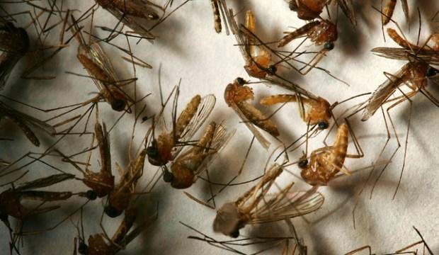 Consejos para prevenir el virus del Nilo Occidental