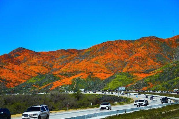 Después de las tormentas de invierno, llegan las flores a California