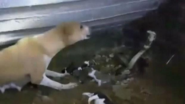 Perra defiende a sus cachorros de agresiva cobra
