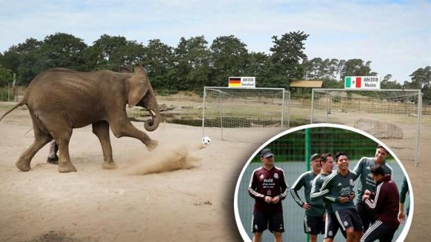 """Mientras el Tri entrena, elefanta """"predice"""" su futuro ante Alemania"""