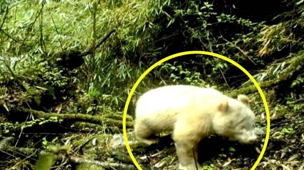 [TLMD - LV] Avistan por primera vez un panda albino en una reserva de China